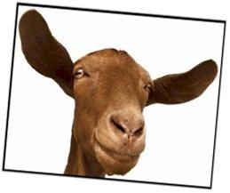 goat-ears